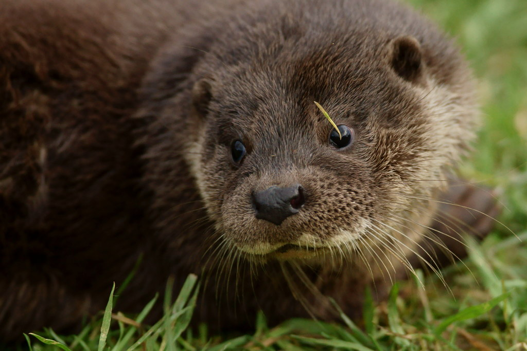 Close-up of a European otter