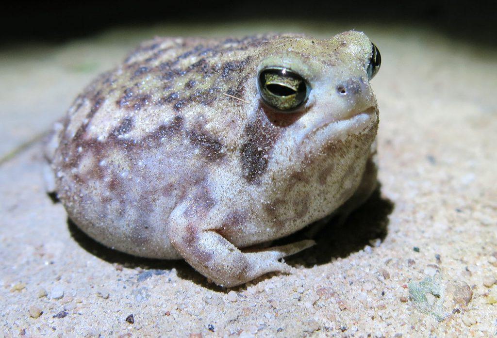 Bushveld rain frog in the desert