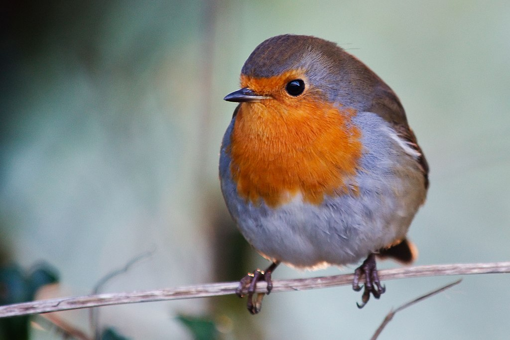 A plump robin on a branch