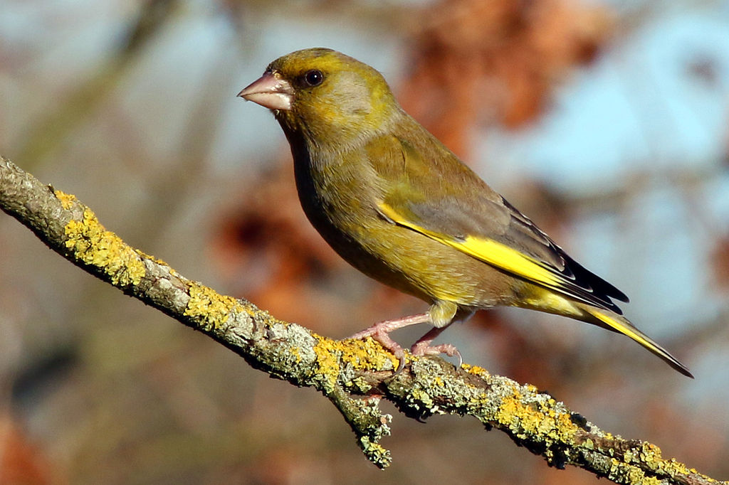 A greenfinch on a branch