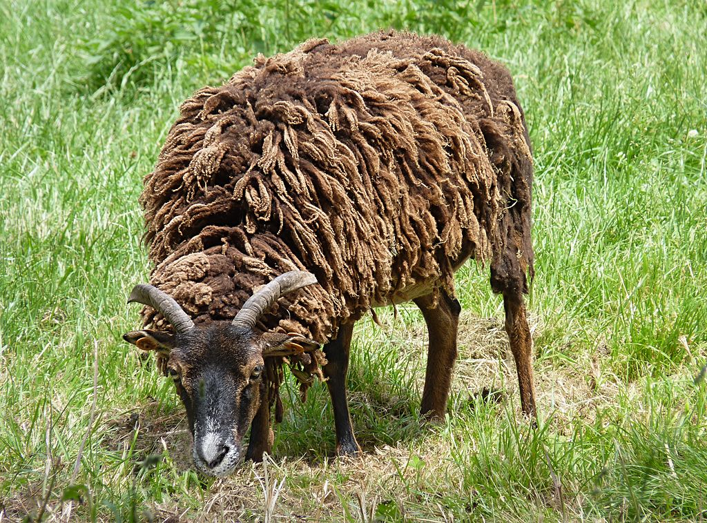A Soay sheep grazing