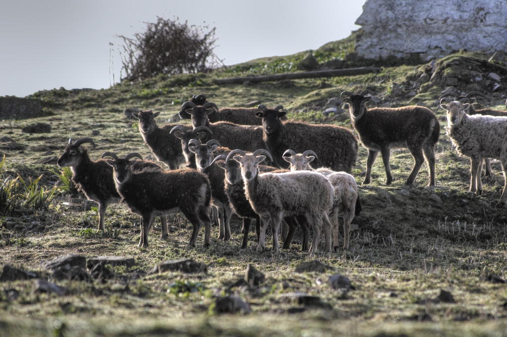 A herd of Soay sheep on a hillside