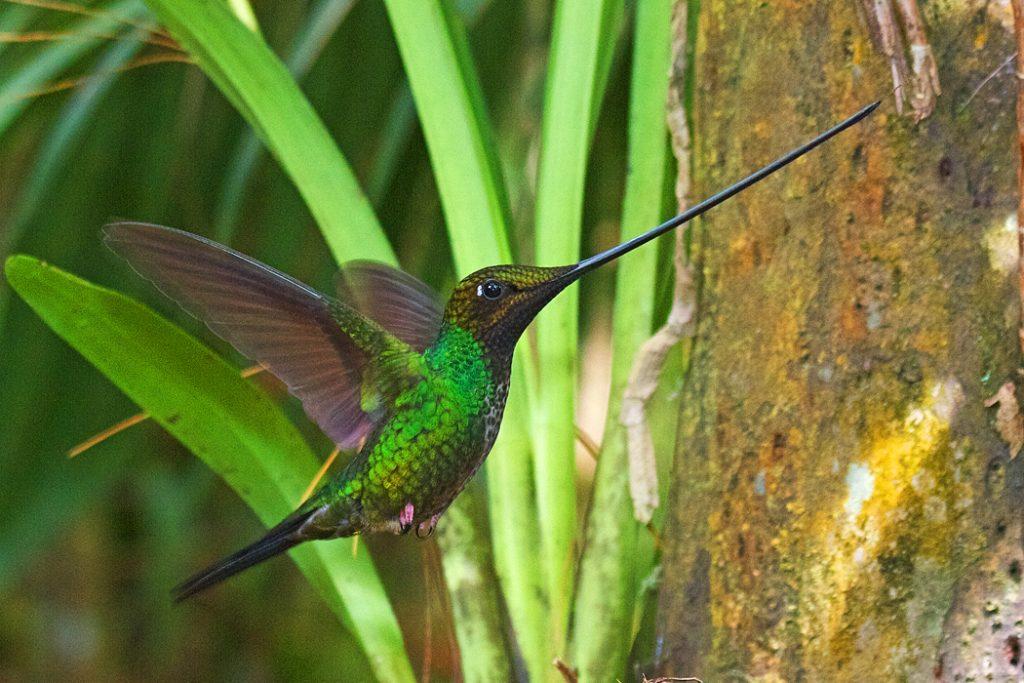 Sword-billed hummingbird hovering in mid air