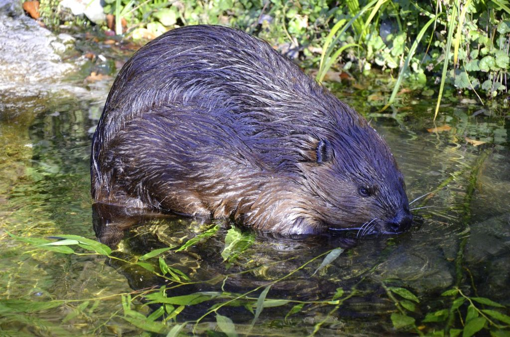 Reintroducing beavers to Britain