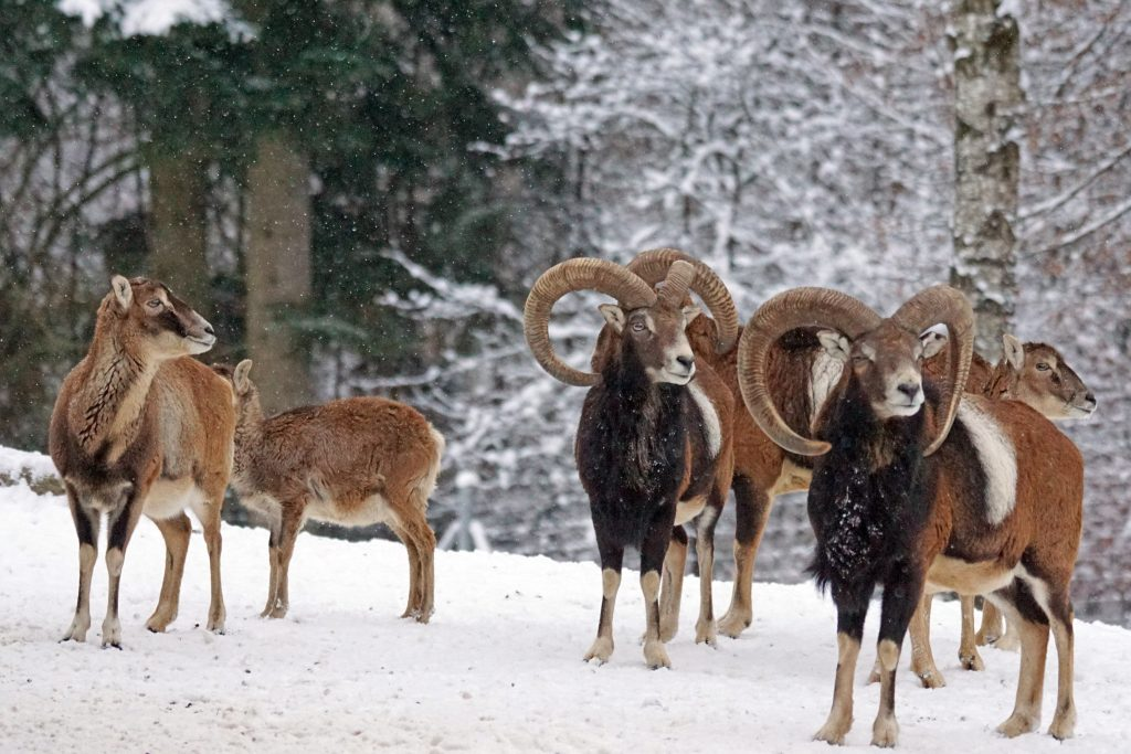 A herd of wild sheep, mouflon, in the snow