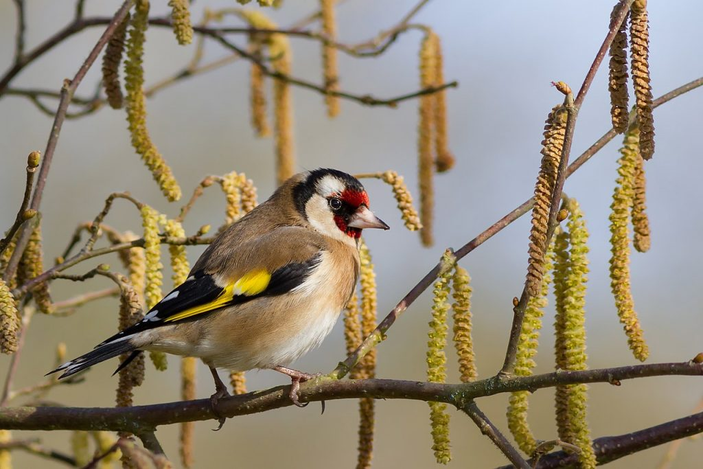 A goldfinch perched on a branch
