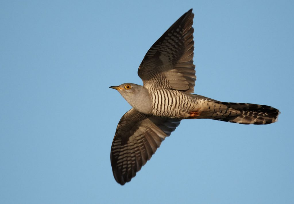 A common cuckoo in flight