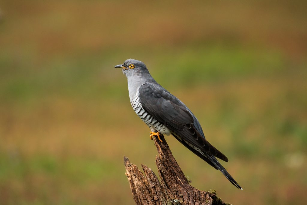 A common cuckoo perched on a stump