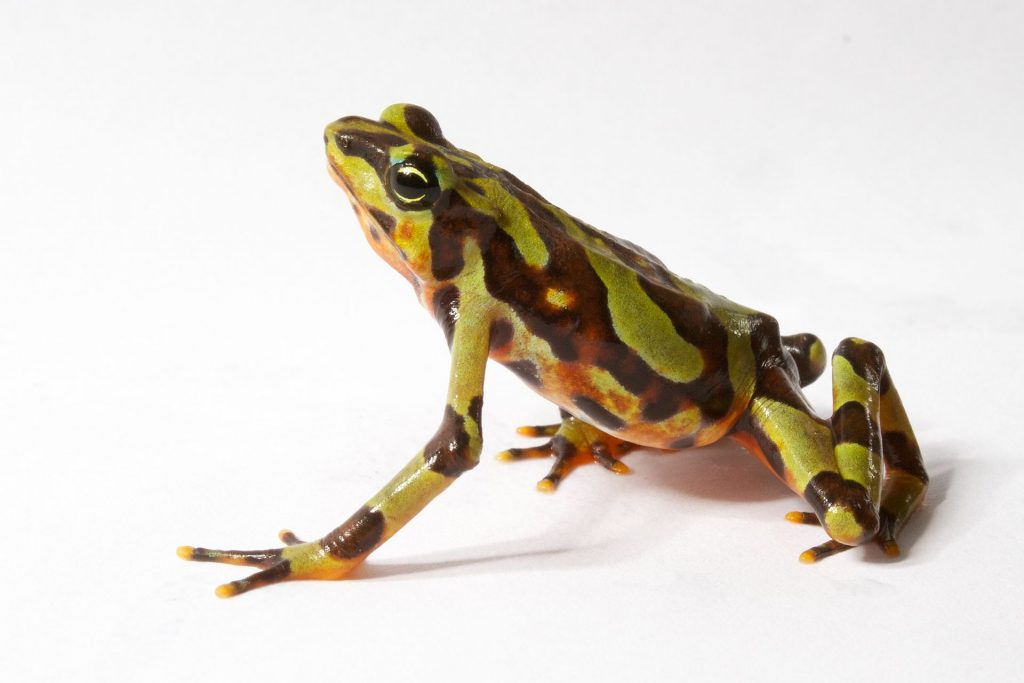 The variable harlequin frog is threatened by the chytrid fungus