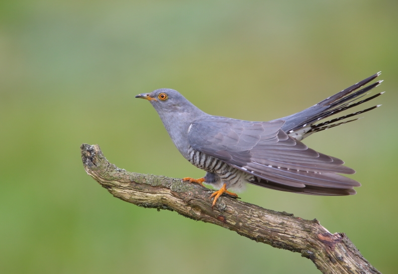 A common cuckoo perched on a branch