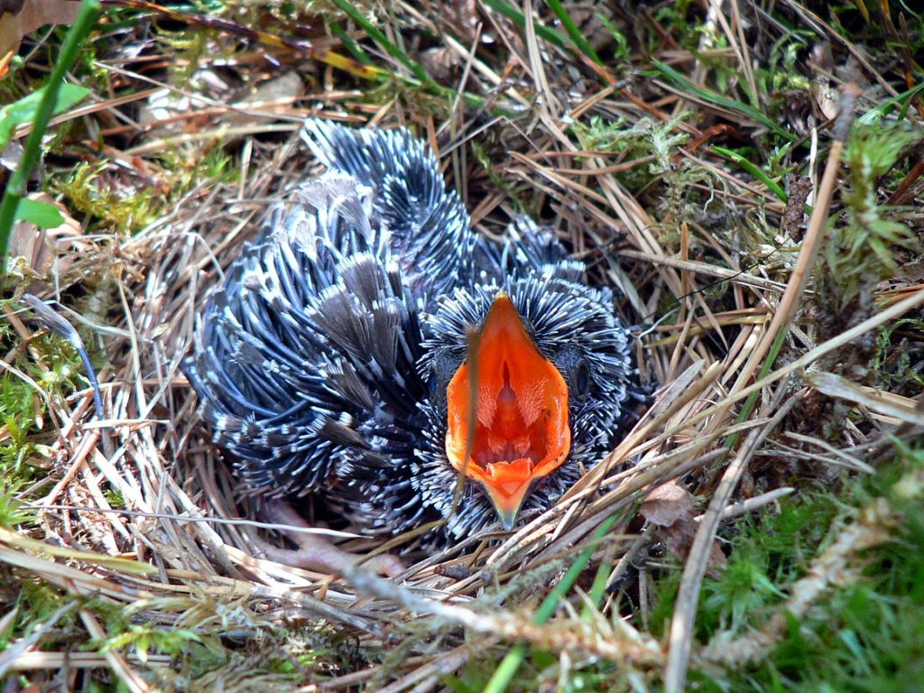 A cuckoo chick in a tree pipit nest