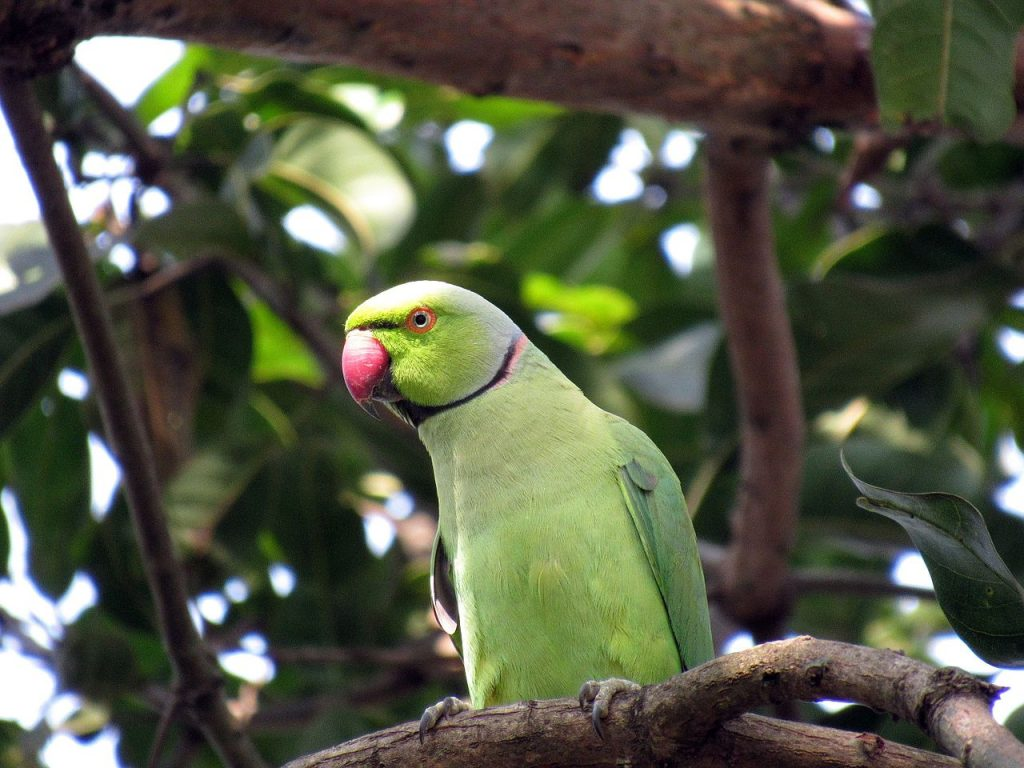 A male ring-necked parakeet sitting on a branch
