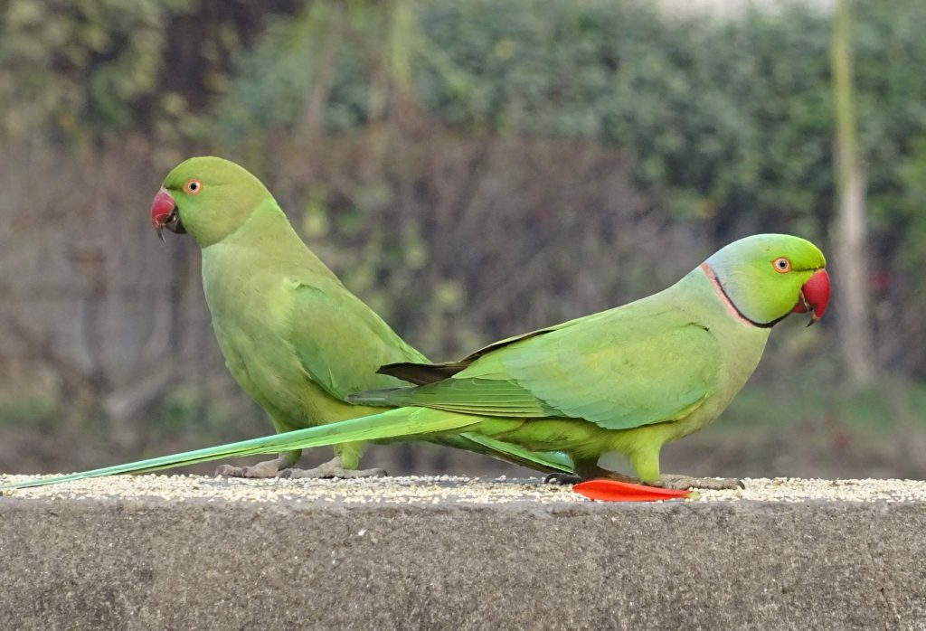 Two ring-necked parakeets - a male (right) and a female (left)