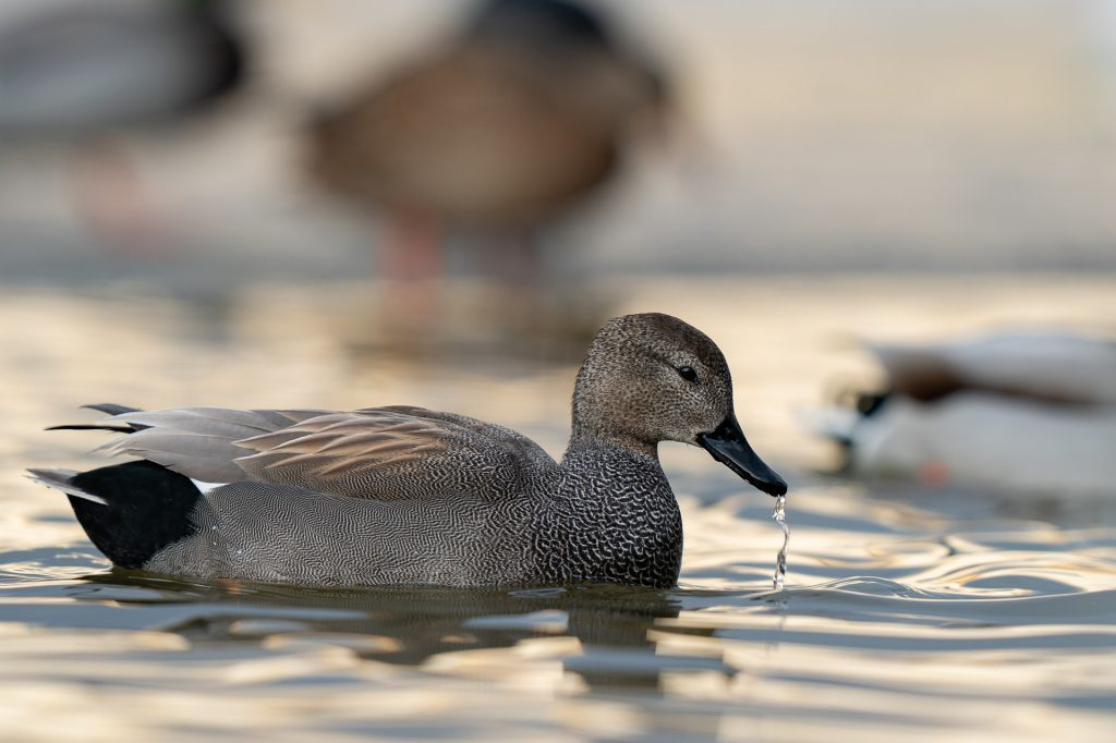 A male gadwall swimming on a pond