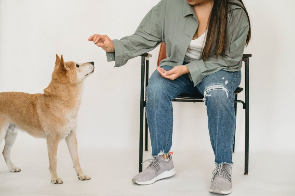 woman in stylish outfit training shiba inu
