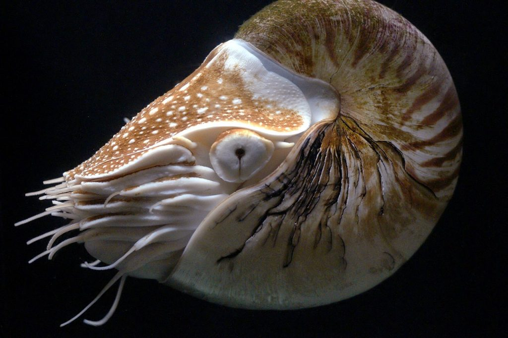 A nautilus suspended in water