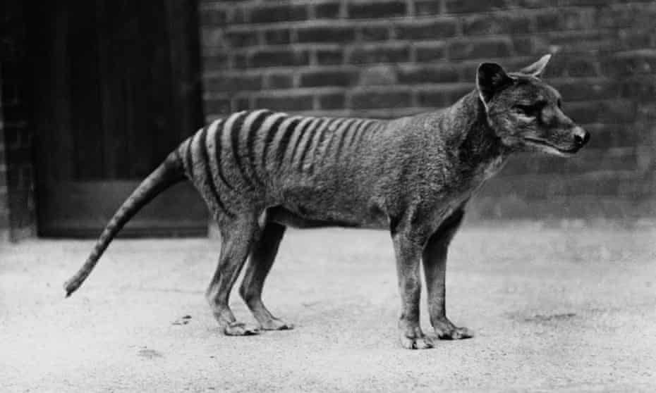 Black and white photo of a thylacine in a zoo