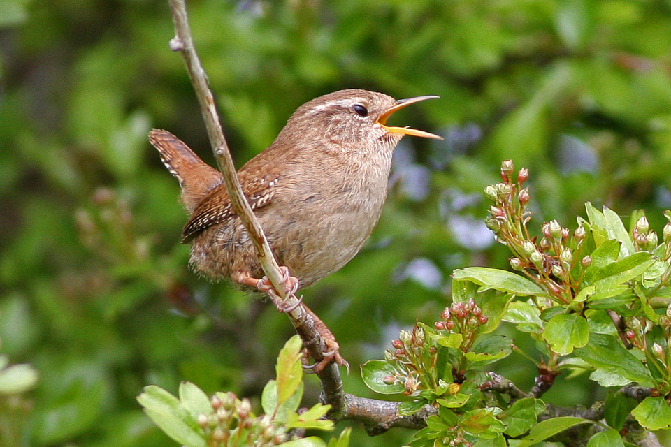 A wren singing on a branch