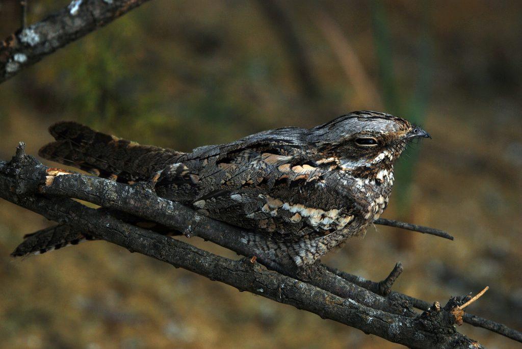 A nightjar resting on a branch