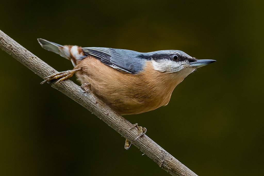 Nuthatch perched on a branch