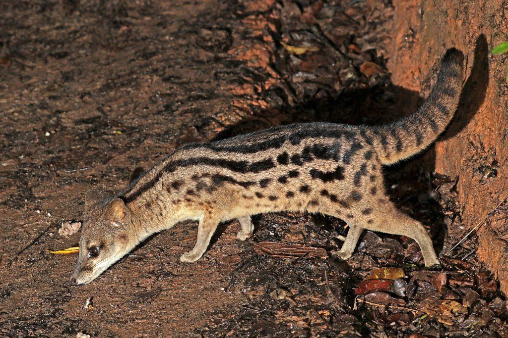 A Madagascan fanaloka