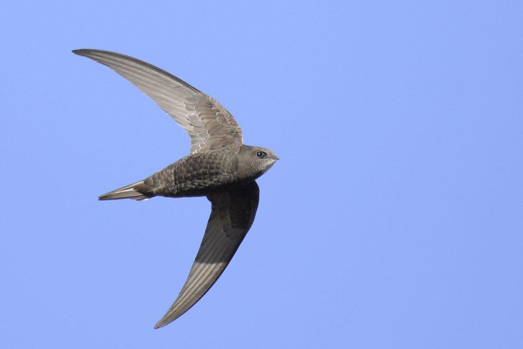 A common swift in flight