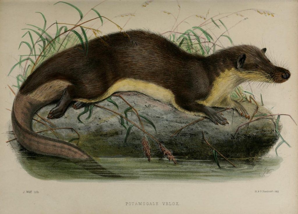 A painting of a giant otter shrew