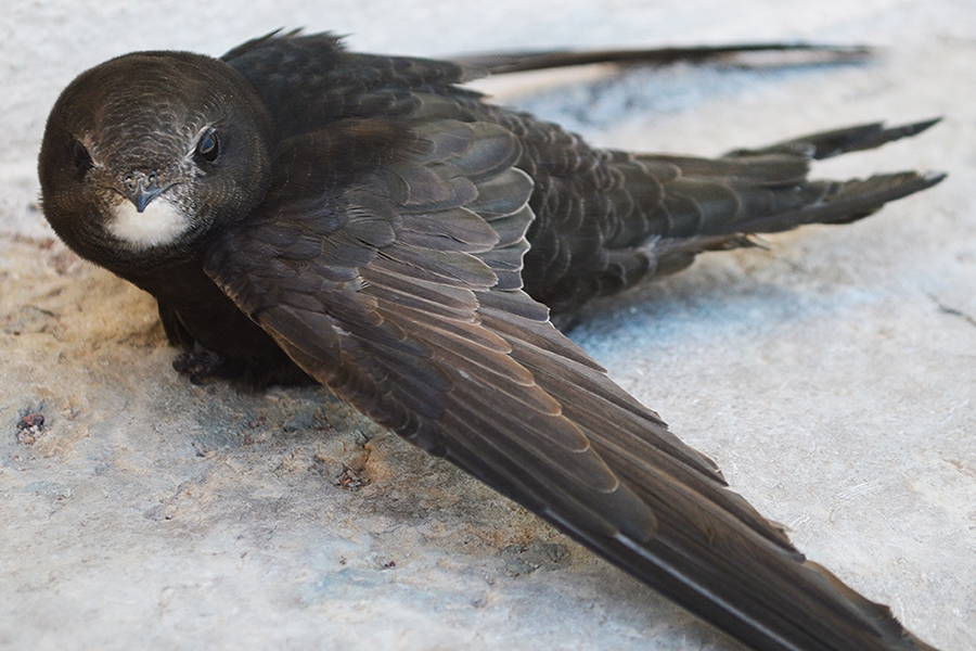 A common swift on the ground