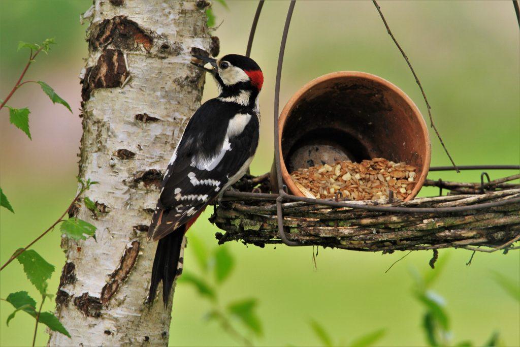 Male great-spotted woodpecker on a bird feeder