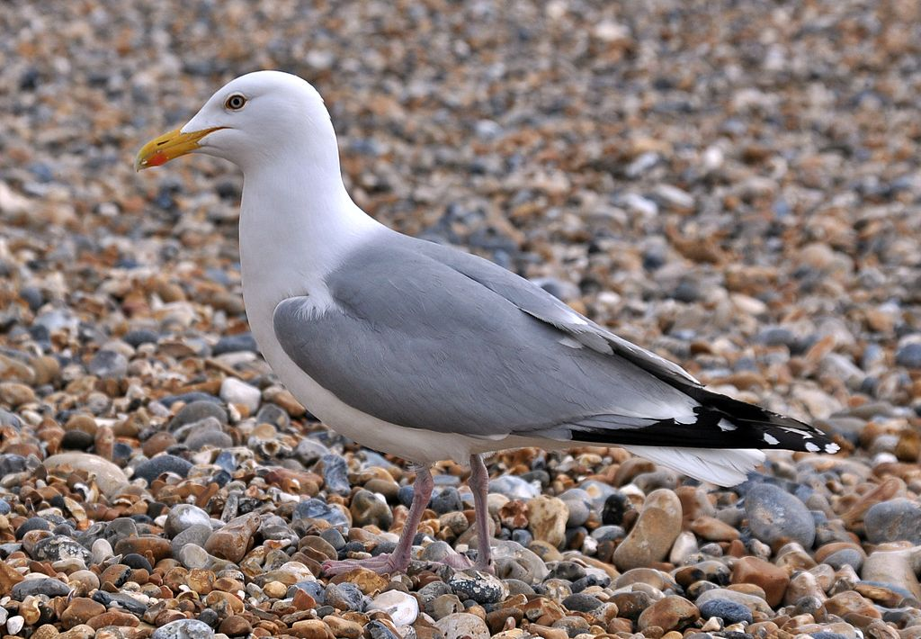 A herring gull walking along a shingle beach