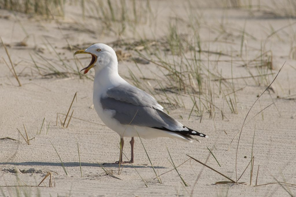 A herring gull screeching on a beach