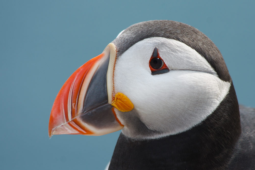 Head of a puffin