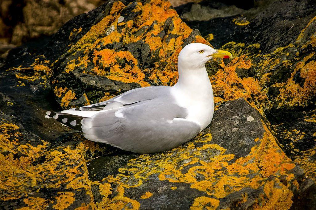 Herring gull resting on some rocks