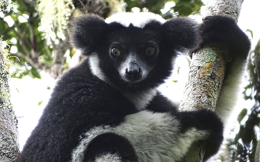 A close up of an indri face