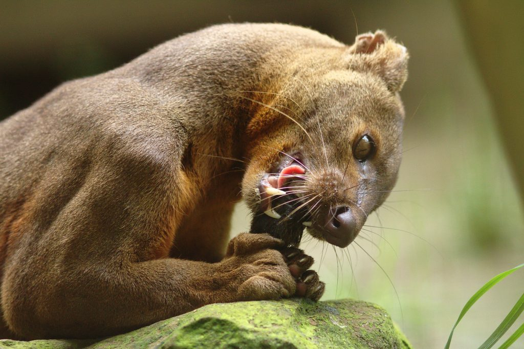 A fossa eating