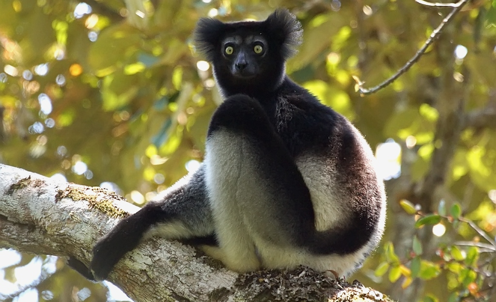 An indri sitting on a branch