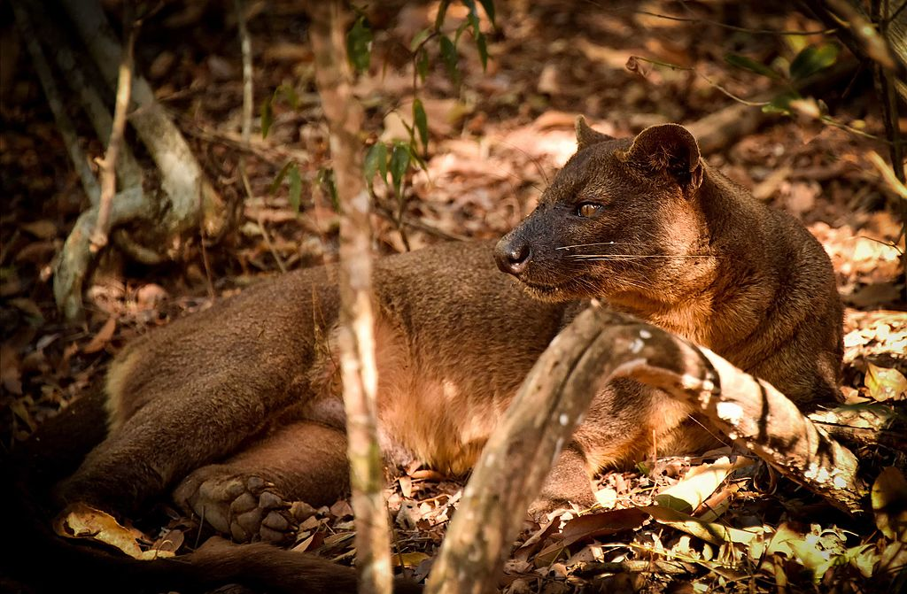 A fossa resting on the ground among the leaves