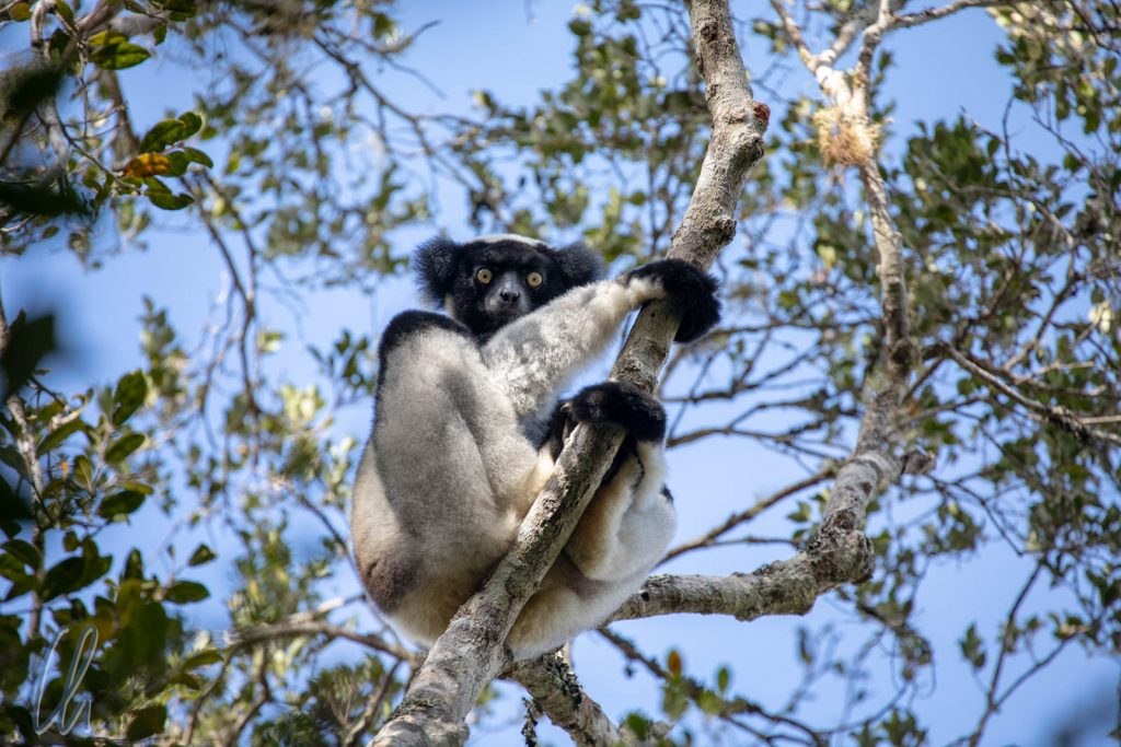 An indri clinging to a branch in a tree