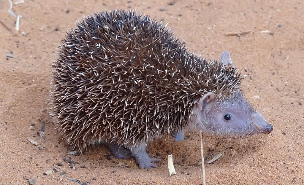 A lesser hedgehog tenrec